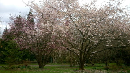20210408Accoladeと山桜