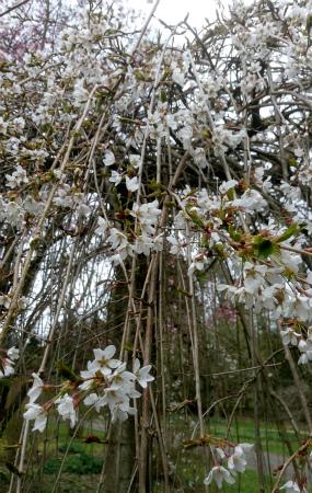 20210408しだれ桜、白2