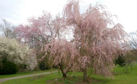 20210408しだれ桜、ピンク